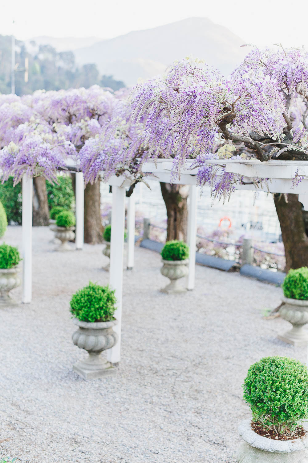 Wisteria at Lake Como Bellagio Italy